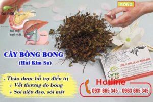 Cây bòng bong Thảo Dược Thanh Bình