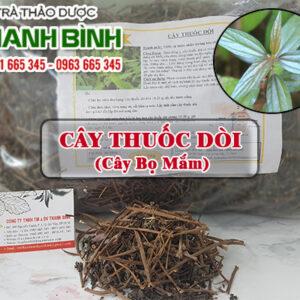 Cây thuốc dòi Thảo Dược Thanh Bình