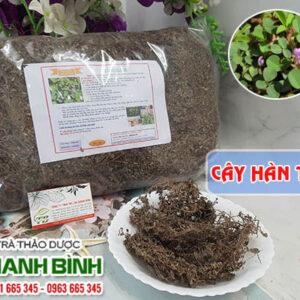 Cây hàn the Thảo Dược Thanh Bình
