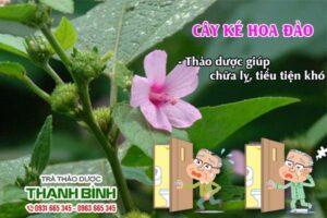 Cây ké hoa đào Thảo Dược Thanh Bình